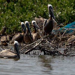 A Brown Pelican is perched on a branch near other pelicans at Cat Island off the coast of Louisiana on Thursday, June 17 2010. Oil from the Deepwater Horizon spill continues to impact areas across the coast of gulf states.