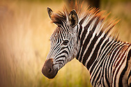 Young male zebra's sport mohicans as a matter of course.
