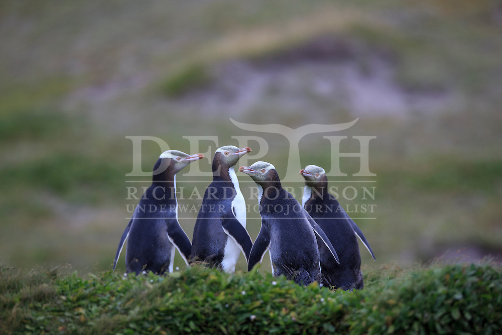 Megadyptes antipodes (Yellow eyed penguin) at Sandy Bay, Enderby Island, Auckland Islands, New Zealand.<br /> 12 January 2016<br /> Photograph Richard Robinson &copy; 2016