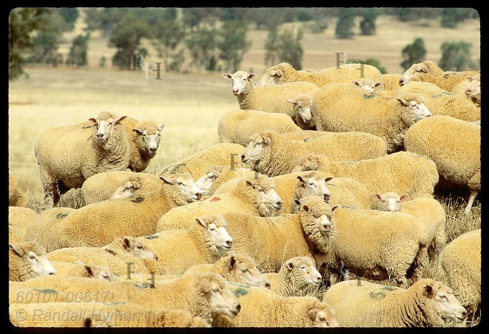 Sheep congregate on dusty knoll in blistering heat of summer day on farm near Coolamon; (h) NSW. Australia