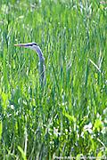Promenade ornithologique, botanique et cie à  La Maison du Marais / Saint-Anne-de-Sorel / Canada / 2016-06-19, Photo © Marc Gibert / adecom.ca