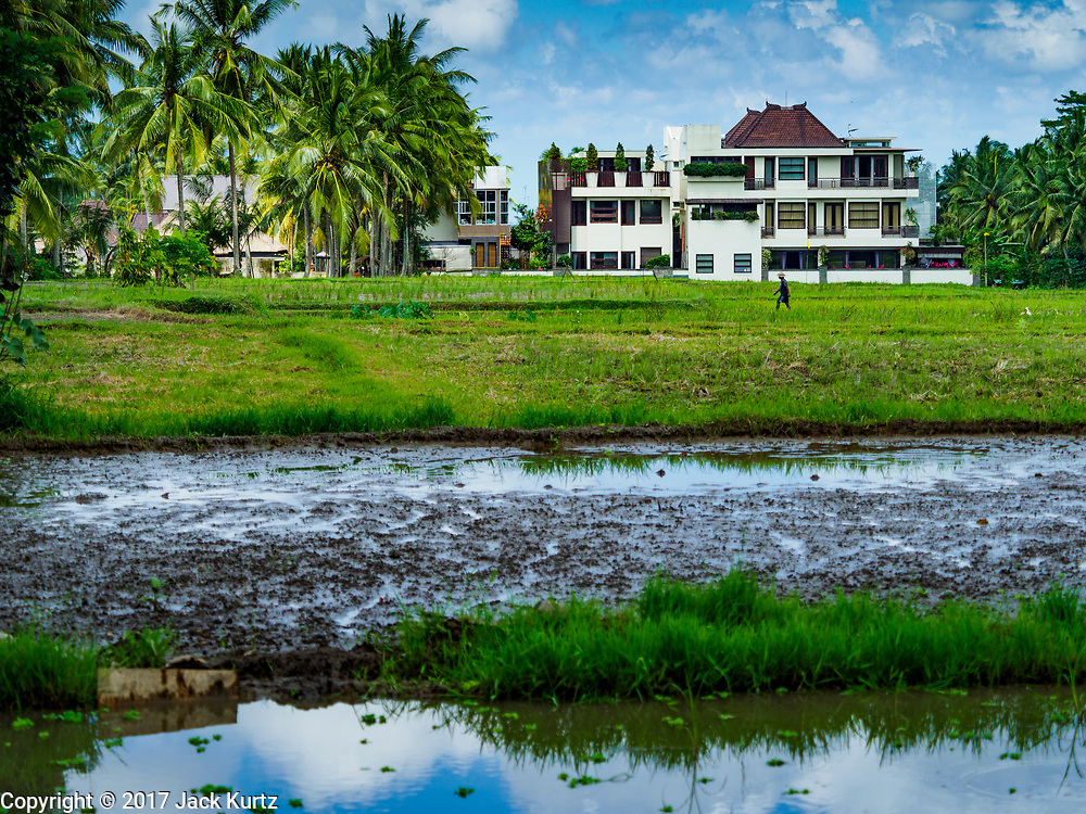 10 AUGUST 2017 - UBUD, BALI, INDONESIA:  A farmer walks through a rice field about 1.5 kilometers from downtown Ubud. An upscale tourist hotel, that charges about $300 (US) per night is in the background. Hotels are being built in the fields because tourists want to stay in the fields.  Rice is the most important crop grown on Bali and is important as a food source and a symbol of Balinese culture. In accordance with Balinese tradition, men transplant the young rice plants from nurseries to the fields and women harvest the rice when it matures.    PHOTO BY JACK KURTZ