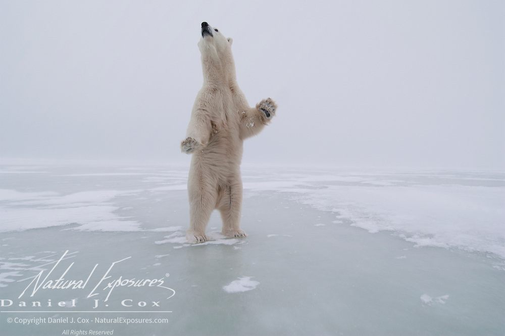 Polar bear (Ursus maritimus) sub-adult standing up on its hind legs. Churchill, Manitoba. Canada