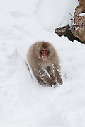 Snow monkey running down snow bank