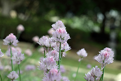 Flowers - Chive (allium)