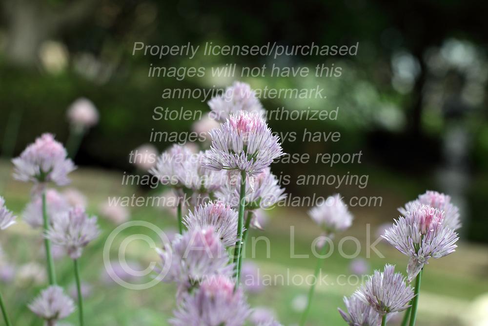 Flowers - Chive (allium)