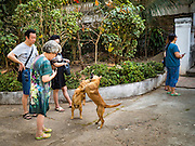 "13 MARCH 2016 - LUANG PRABANG, LAOS: Chinese tourists watch dogs fight for dominance in a temple in Luang Prabang. Luang Prabang was named a UNESCO World Heritage Site in 1995. The move saved the city's colonial architecture but the explosion of mass tourism has taken a toll on the city's soul. According to one recent study, a small plot of land that sold for $8,000 three years ago now goes for $120,000. Many longtime residents are selling their homes and moving to small developments around the city. The old homes are then converted to guesthouses, restaurants and spas. The city is famous for the morning ""tak bat,"" or monks' morning alms rounds. Every morning hundreds of Buddhist monks come out before dawn and walk in a silent procession through the city accepting alms from residents. Now, most of the people presenting alms to the monks are tourists, since so many Lao people have moved outside of the city center. About 50,000 people are thought to live in the Luang Prabang area, the city received more than 530,000 tourists in 2014.    PHOTO BY JACK KURTZ"