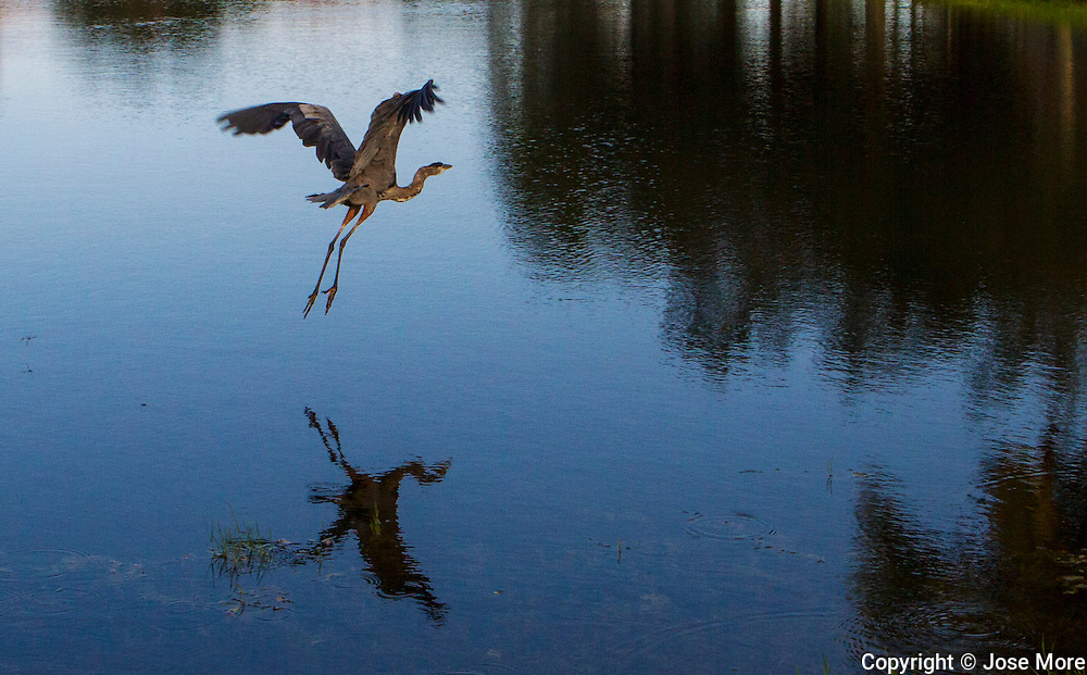 The little blue heron (Egretta caerulea) is a small heron.<br /> Photography by Jose More