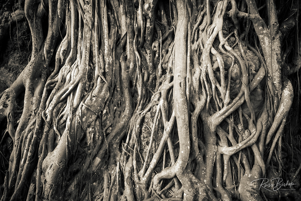 Tree roots, Onomea Bay, Hamakua Coast, The Big Island, Hawaii USA