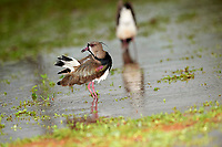 Southern Lapwing (Vanellus chilensis), Araras Ecolodge,  Mato Grosso, Brazil