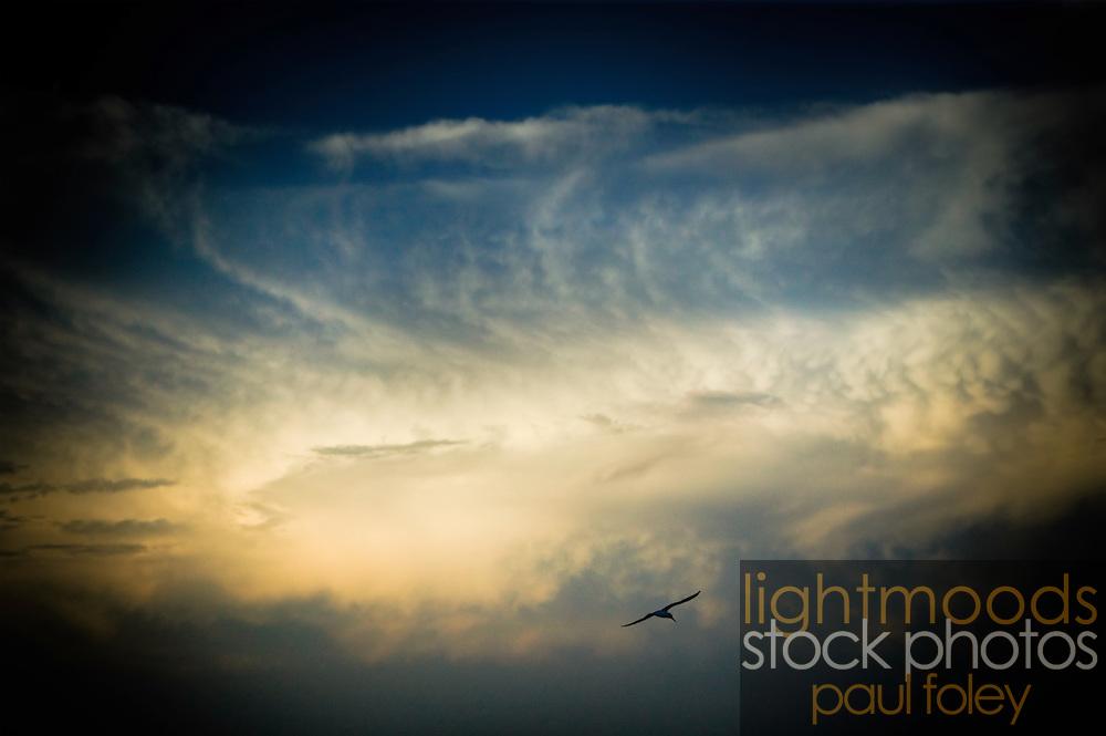 Soaring bird against afternoon sky, East Coast Australia