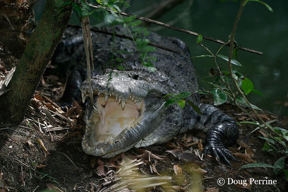 Morelet's crocodile, Belize crocodile, or Central American crocodile, Crocodylus moreletii, gaping while basking, Belize Zoo, Belize, Central America