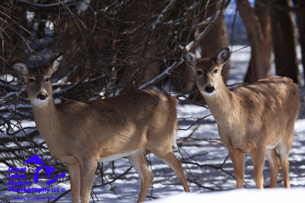 These white-tailed deer are so accustomed to the threat-free nature of the visitors to the Eagle River park that they remain calm and almost pose for photos.