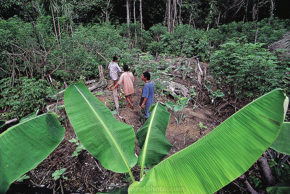 A slash-and-burn garden in the forest village of Sejal, Venezuela. (Man Eating Bugs page 168)