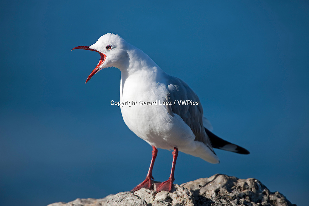 Hartlaub's Gull or king Gull, larus hartlaubii, Adult standing on Rock, Calling out, Hermanus in South Africa