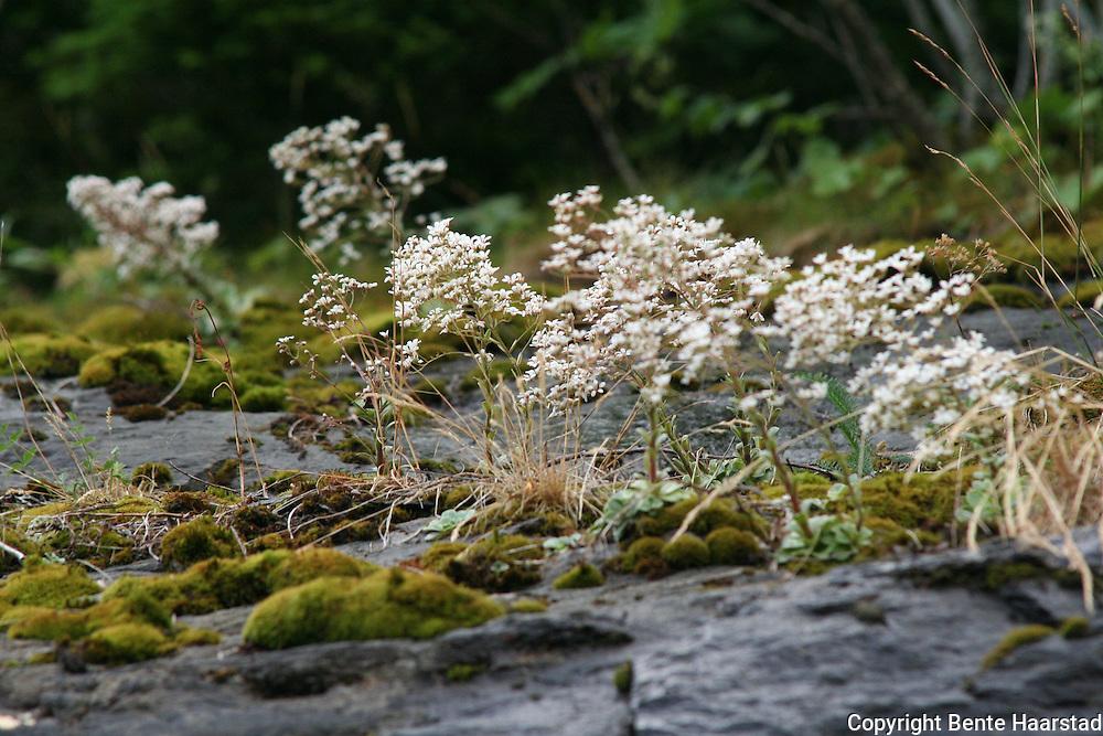 Saxifraga cotyledon, bergfrue. Er i likhet med røsslyng, en gang kåret til Norges nasjonalblomst.