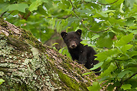 A black bear cub gives an inquisitive look from high atop a tree limb. Cades Cove, Tn.
