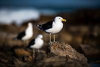 Kelp Gull, Agulhas National Park, Western Cape, South Africa