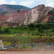 Cows graze near the mined hillsides at the Geita Gold Mine.