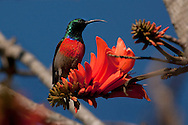 Portrait of a Great Double Collared Sunbird with a Coral tree flower, Oribi Gorgrem, KwaZulu Natal, South Africa