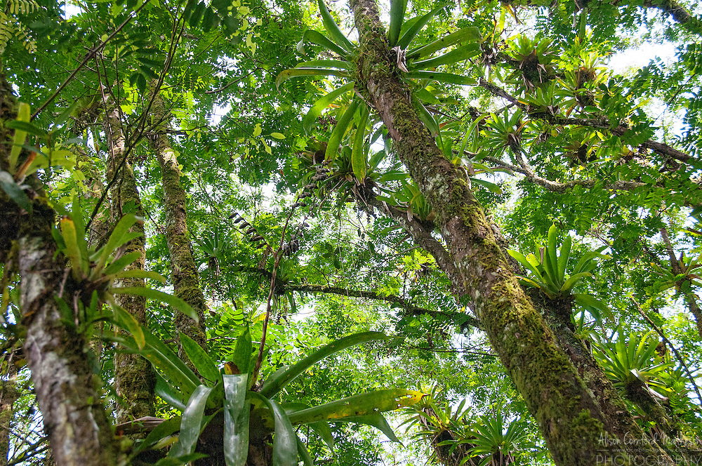 Bromeliaceae, or bromeliads, cling to host trees in the forest section of the reserve naturelle de Kaw-Roura in Frencg Guiana.