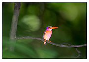 Sulawesi dwarf kingfisher from Tangkoko National Park, Sulawesi, Indonesia. Nikon D850, 300mm + TC14 @ 420mm, f4, 1/1000sec, ISO1250, SB900 fill-in flash