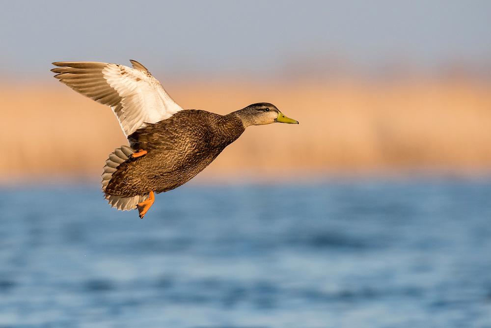American Black Duck, Anas rubripes, male, Harsen's Island, Michigan