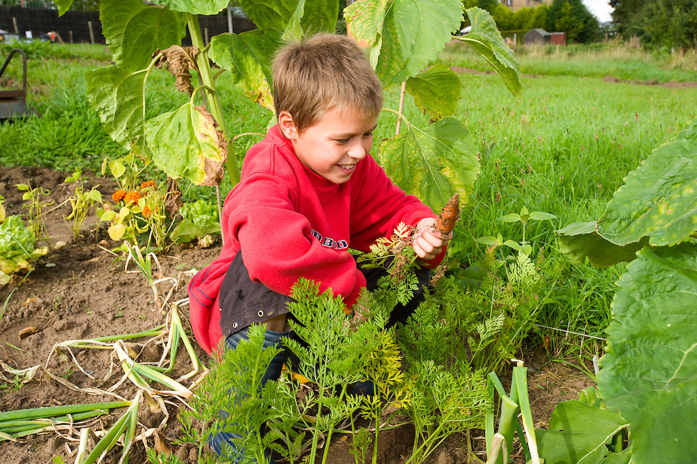 Boy in an allotment with carrots he has grown, Carnoustie, Scotland