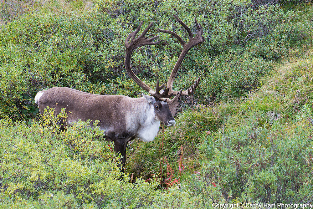 Caribou in Denali National Park, Alaska August