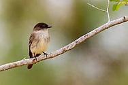 Eastern Phoebe (Sayornis phoebe)<br /> United States: Alabama: Tuscaloosa Co.<br /> Tulip Tree Springs off Echola Rd.; Elrod<br /> 2-Apr-2017<br /> J.C. Abbott #2918