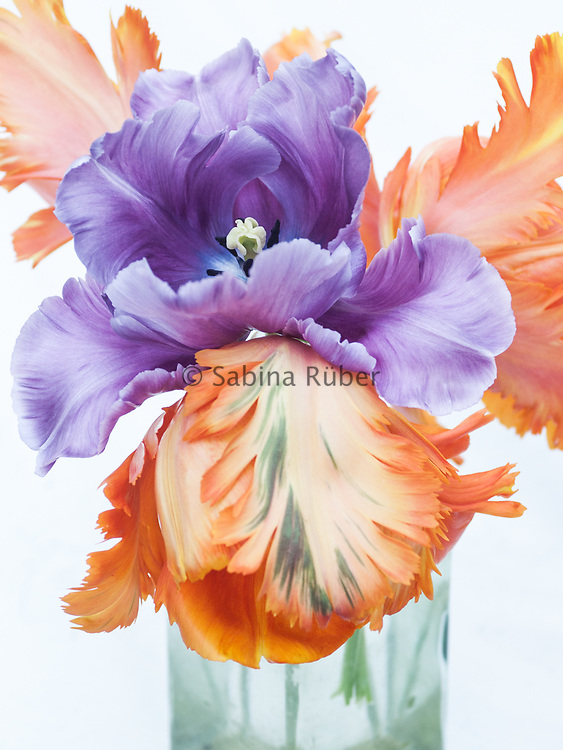 Tulipa 'Blue Parrot' and Tulipa 'Orange Favourite'
