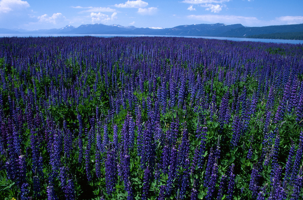 &quot;Lupine at Lake Tahoe&quot;- These Lupine flowers were photographed facing south at Lake Tahoe, just north of Tahoe City, CA<br /> Photographed: June, 2004