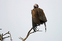 "A vulture encloses itself within the cover of its ""cloak"" of feathers to get dry after the rain."