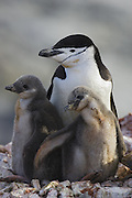 Chinstrap Penguin<br /> Pygoscelis antarctica<br /> Parent and chick(s)<br /> Booth Island, Antarctica