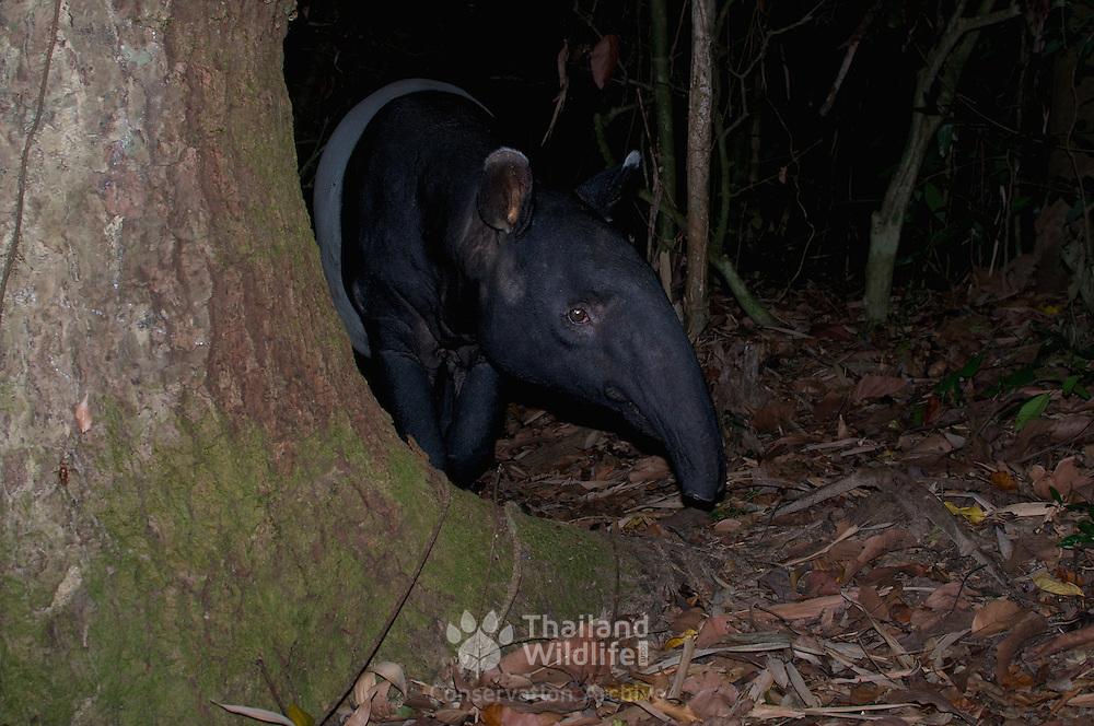 The Malayan tapir (Tapirus indicus), also called the Asian tapir, in Kaeng Krachan National Park, Thailand.