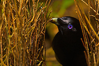 "Satin Bowerbird (Ptilonorhynchus violaceus minor) male ""painting"" the inner walls of his bower with masticated plant matter.  Note the substance on his bill.  This bower is decorated with all natural objects...Rain forest of the Atherton Tablelands..Queensland, Australia"