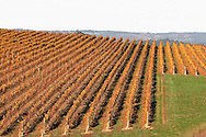 Vineyard in autumn.<br /> <br /> Larger JPEG + TIFF images available by contacting use through our contact page at : www.effectiveworkingimage.com