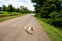 Mr. Praprut Thanthongdee's pet dog walks the streets outside of his home in Sakon Nakhon province, in northern Thailand. The Thanthongdee family keeps several dogs as pets and would never consider eating them.