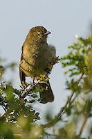 Sombre Greenbul, Addo Elephant National Park, Eastern Cape, South Africa