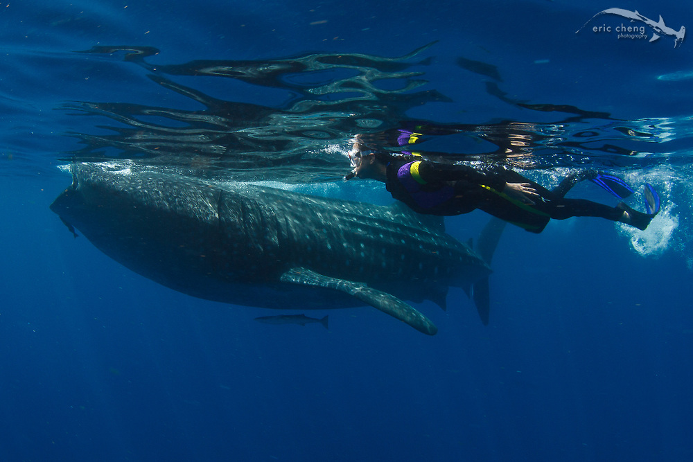 My wife, Pam, swims with a whale shark (Rhincodon typus) at a feeding aggregation off of Isla Mujeres, Mexico