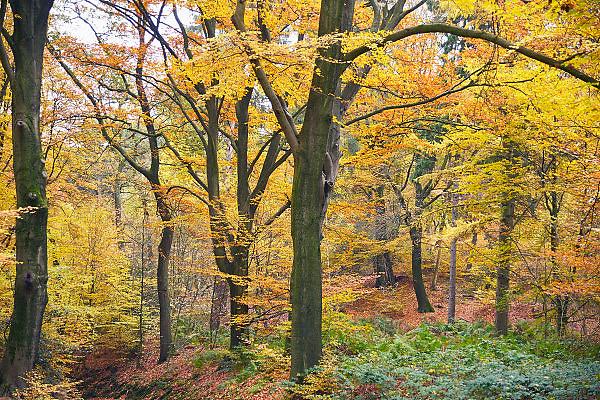 Nederland, 11-11-2012Prachtige rode, oranje en gele tinten in het bos in de herfst.Foto: Flip Franssen/Hollandse Hoogte