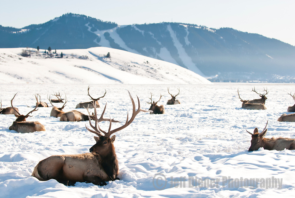 A herd of Elk gathers for the winter on the National Elk Refuge in Jackson Hole, Wyoming.