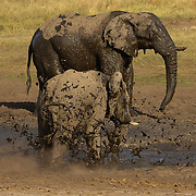 Elephant mud bathing Dete vlia