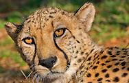 Alberto Carrera, Cheetah, Acinonyx jubatus, Guepard, South Africa, Africa