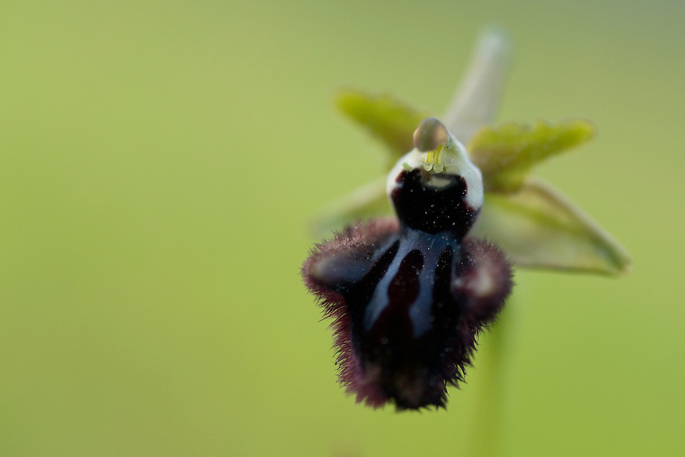 Orchid, Apulia; Gargano Peninsula; Italy; Ophrys