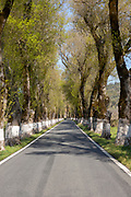 Iconic road through grove of ash trees with whitewashed bases of their trunks, Fraxinus angustifolia, near Portagem, Alto Alentejo, Portugal, Southern Europe