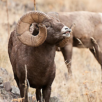 bighorn sheep lip curling, wild rocky mountain big horn sheep