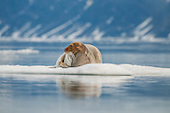 Bearded seal, Svalbard, Norway / Foca barbuda, Svalvard, Noruega