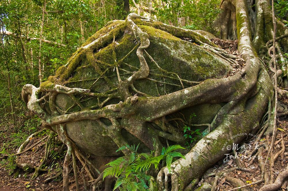 Tree roots around boulder, Albert River Circuit, Lamington National Park, Queensland, Australia