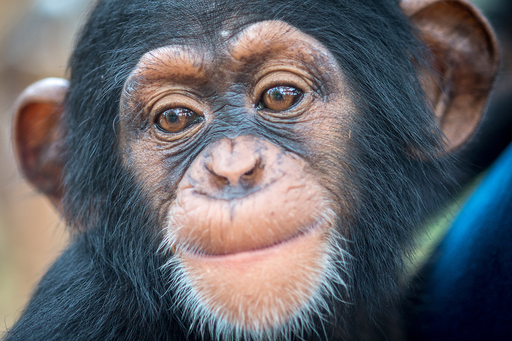 A close up look at the face of a baby chimpanzee.(Pan troglodytes) Ganta Liberia